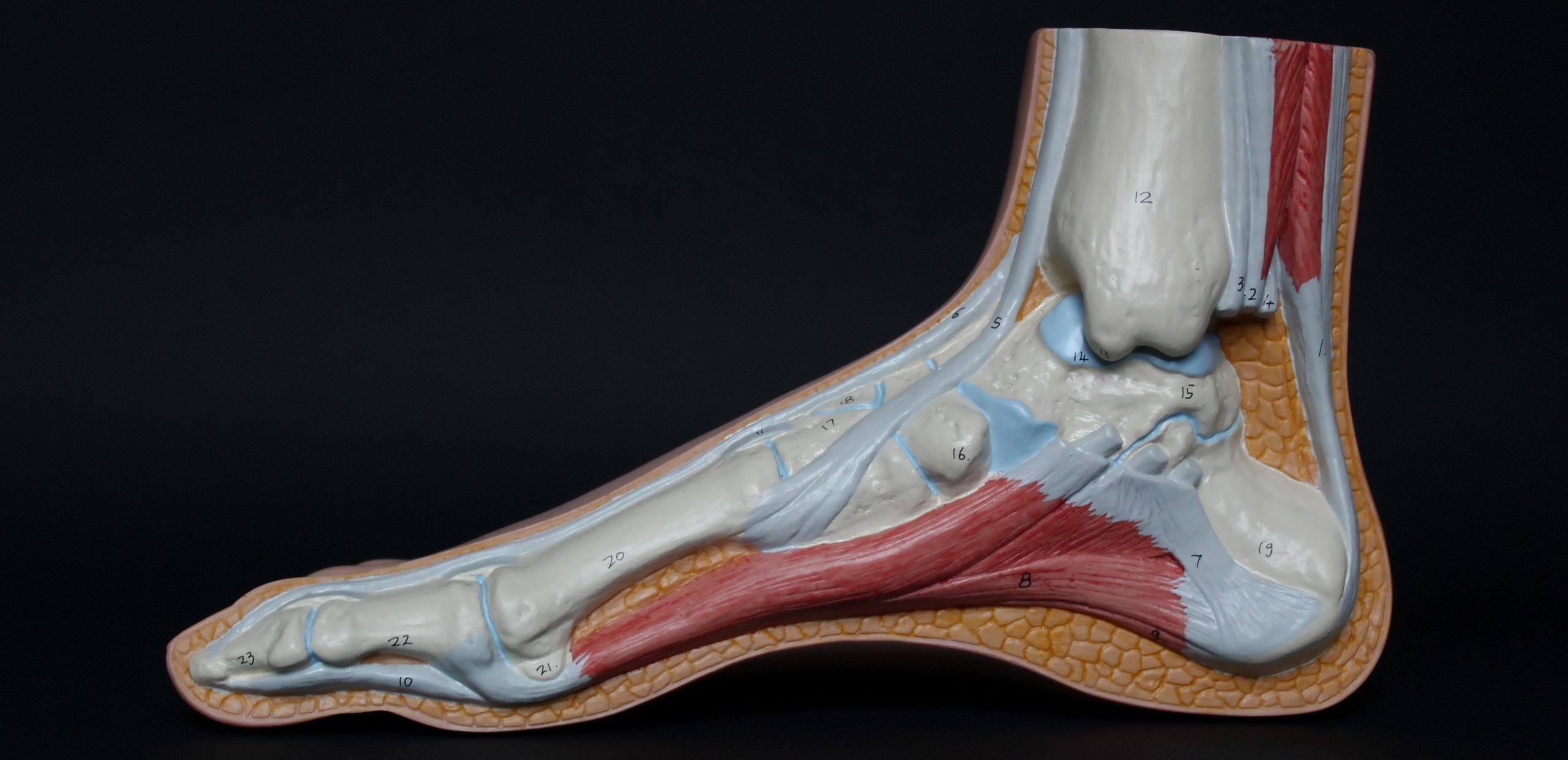 Achillespeesklachten - Rehab - Strive Belgium